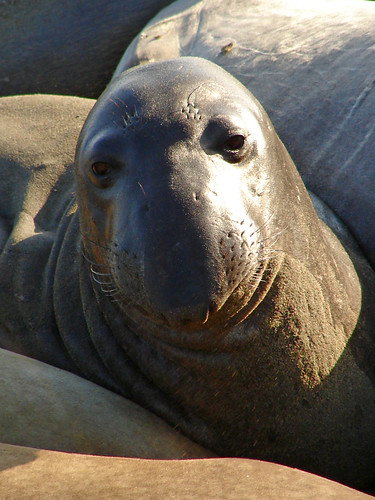 Pacific Coast Hwy378 - Elephant Seals