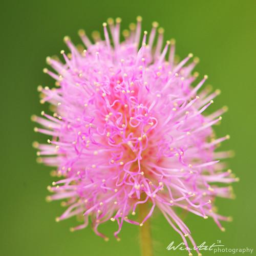 bunga putri malu