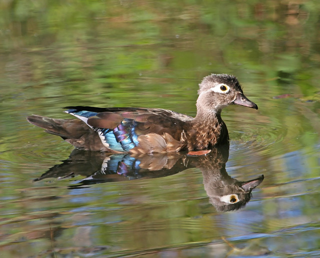 Female Wood Duck | Flickr - Photo Sharing!