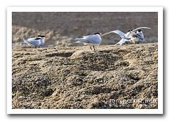 gaviotín sudamericano / South American tern