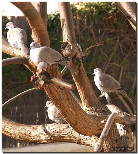tree bird animal ave árbol soe pájaro naturesfinest streptopeliadecaocto streptopelia turtledove mywinners abigfave anawesomeshot colorphotoaward tórtolas