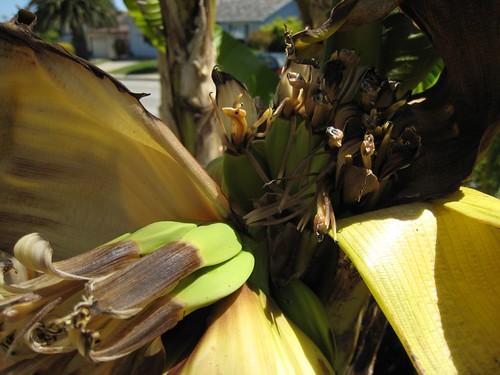banana trees IMG_2376