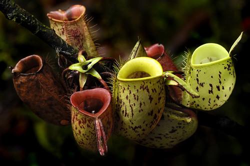 Ampullaria