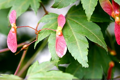 red maple seeds on green maple leaves    MG 4524