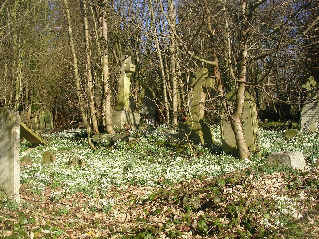 Snowdrops in churchyard St Peter and St Paul, Gt Missenden. Great Missenden to Amersham