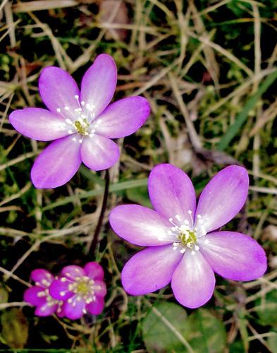 Hepatica nobilis rosa (II)
