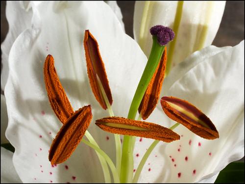 White-Lily.