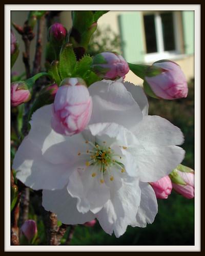 Prunus serrulata 'Amenogawa'