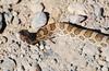 """<a href=""""http://www.flickr.com/photos/jroldenettel/1698738757/"""">Photo of Arizona elegans by Jerry Oldenettel</a>"""