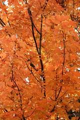 Fall Leaves - Orange