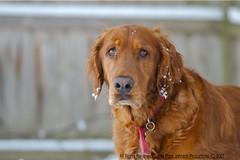 dog breed, animal, dog, boykin spaniel, pet, nova scotia duck tolling retriever, field spaniel, irish setter, setter, golden retriever, carnivoran,