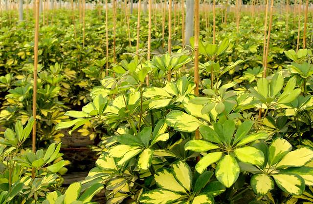 Schefflera variegata flickr photo sharing - Schefflera variegata ...