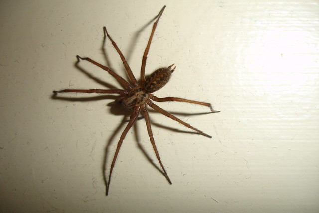 Really scary hairy spider | Flickr - Photo Sharing!