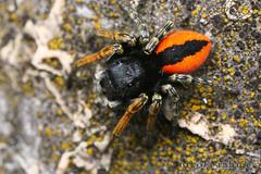 Philaeus chrysops male