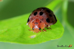 animal, ladybird, organism, invertebrate, insect, macro photography, green, fauna, close-up, leaf beetle, beetle,