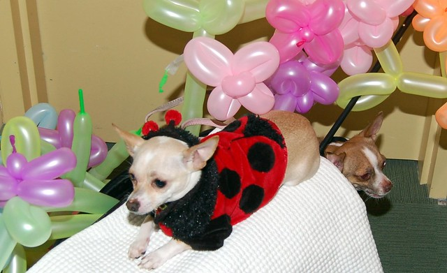Cute Funny Dressed Puppy Chihuahua Girl Birthday Baloons
