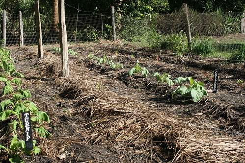 fall garden vegetable rows turnips turnip collard collards crosscreek krt kimtaylor marjoriekinnanrawlings greensmastergardenerfloridacrosscreekmarjoriekinnanrawlings krtinfl