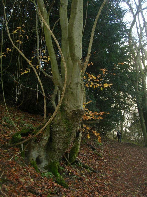 Tree Petersfield to Liss