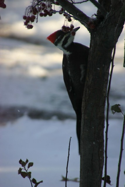 Close-up of Pileated Woodpecker on Cherry Tree