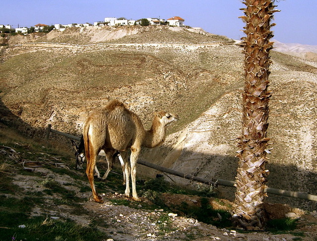 Camel in Israel Desert