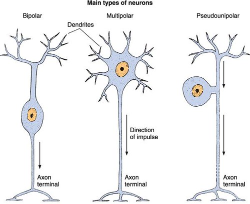 types of neurons | Flickr - Photo Sharing!