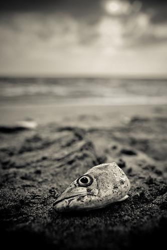 sunset food fish eye beach gulfofmexico death florida pad fishhead captivaisland june1st2008