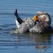 Quetro Malvinero / Falkland Steamer Duck / Tachyeres brachypterus