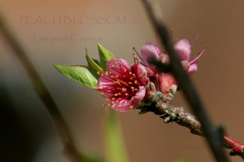 Peach Blossom ~ I am your Captive