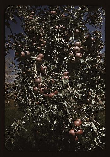 Peaches [i.e. apples] on a tree, orchard in Delta County, Colo. (LOC)