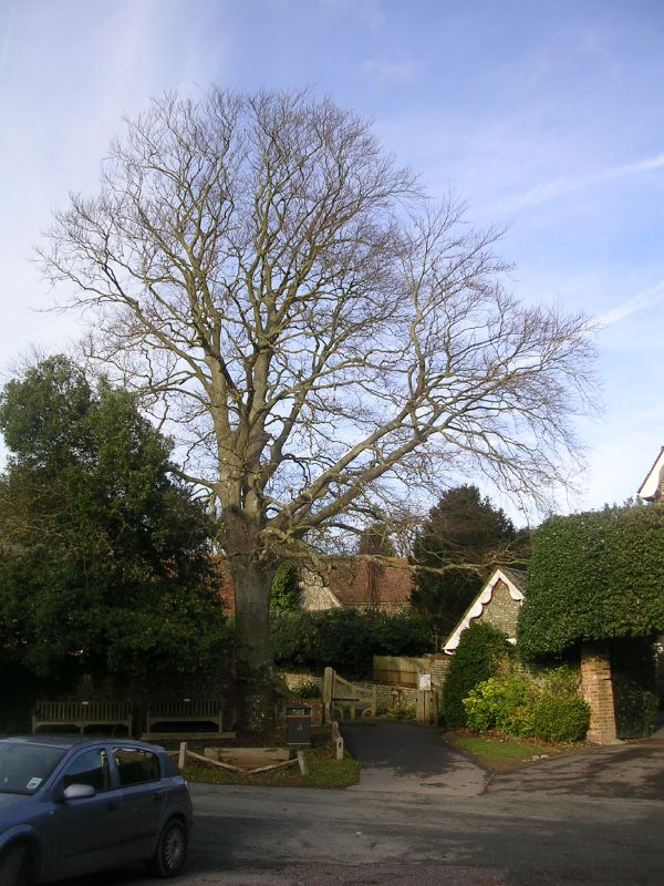 Tree in Burpham Amberley to Arundel