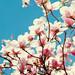 magnolia by tamjpn