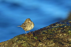 HolderRock Pipit, Workington, Cumbria, England