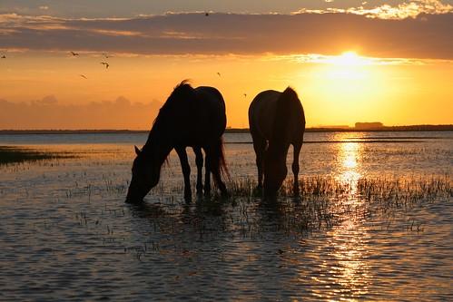 ocean sunset horse beach carson island rachel salt atlantic estuary carrot marsh morehead beaufort equine atlanticbeach banker shackleford brackish