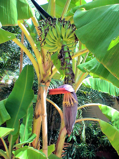 Banana with flower