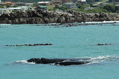 South African whales.