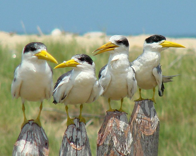 Guanaguanare fluvial [Large-billed Tern] (Phaetusa simplex simplex)