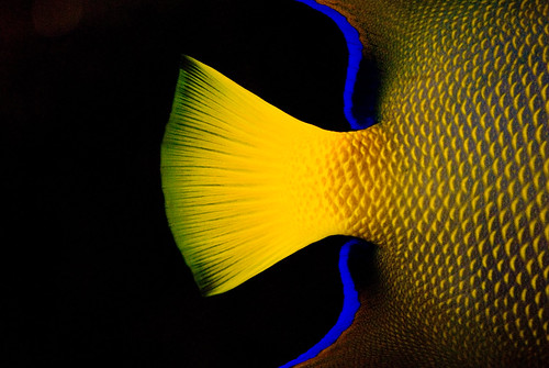 blue fish black color macro nature water animal yellow swimming swim sunrise wow catchycolors nikon perfect colorful tail best scales excellent tropical animalplanet tropicalfish mystory allanimals lightroom aclass closerandcloser themoulinrouge naturalmente naturesfinest goldenglobe awesomeshot patternsanddesigns blueribbonwinner greatphotographers flickrtoday coverofamagazine flickrsbest aplause challengeyouwinner abigfave crownorkick platinumphoto anawesomeshot colorphotoaward aplusphoto flickrhearts firsttheearth ithinkthisisart diamondclassphotographer flickrdiamond allin1 ysplix amazingamateur freenature exemplaryshots heartawards photofaceoffwinner coolestdamncool overtheexcellence a3b artlegacy colorartawards thechallengegame challengegamewinner clevercreativecaptures thegalleryoffinephotography