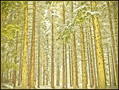 Schneebäume - trees with snow