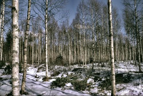 winter snow film analog finland vinter woods birch björk lumi talvi snö koivikko honkajoki