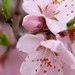 Peach flowers with raindrops