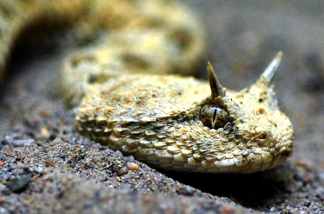 Horned2 | Horned desert viper (cerastes cerastes)! | By ...