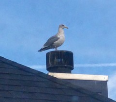Solitary seagull