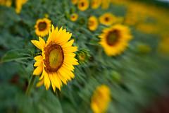 McKee-Beshers Sunflowers 2009-43