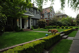 Rosie hops over the hedge to play with a ball on the lawn, nice houses, Montlake, Seattle, Washington, USA | by Wonderlane
