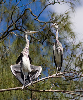 "Black-headed Herons. ""Let me have a sunbath too, darling!!!"