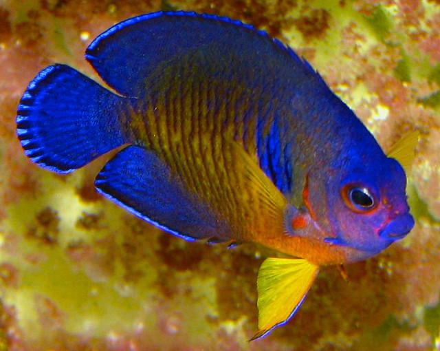 Coral Beauty Angelfish | Flickr - Photo Sharing!