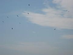 paragliding(0.0), parachute(0.0), air sports(0.0), sports(0.0), sea(0.0), windsports(0.0), bird migration(0.0), toy(0.0), animal migration(1.0), wing(1.0), flock(1.0), sky(1.0), bird(1.0), flight(1.0),