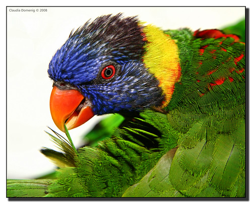 colorful florida preening lorikeet butterflyworld topshot coconutcreek supershot canonefs1785mmf456isusm tradewindspark fineartphotos golddragon mywinners abigfave anawesomeshot colorphotoaward superbmasterpiece avianexcellence browardco