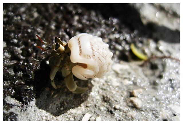 Tahitian Hermit Crab