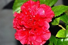 carnation, annual plant, flower, red, macro photography, chinese hibiscus, pink, petal,